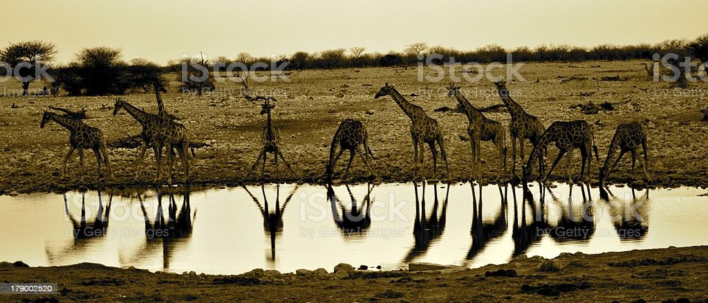 Giraffes at a waterhole stock photo