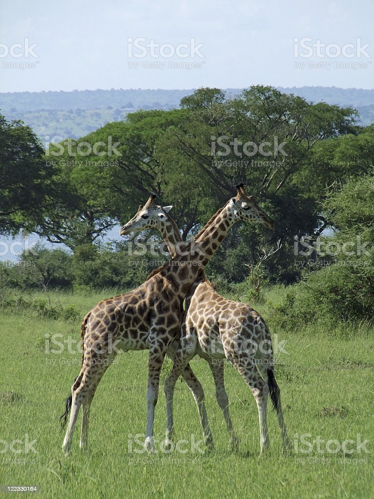 Giraffes at fight in Uganda stock photo