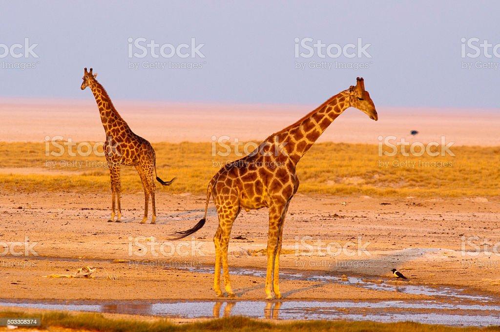 Giraffes at Okondeka waterhole, Etosha National Park, Namibia stock photo