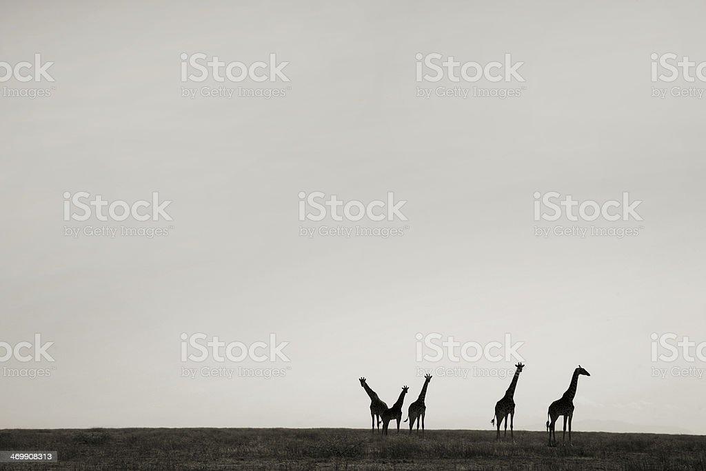 Giraffes at sunset on an African plain stock photo
