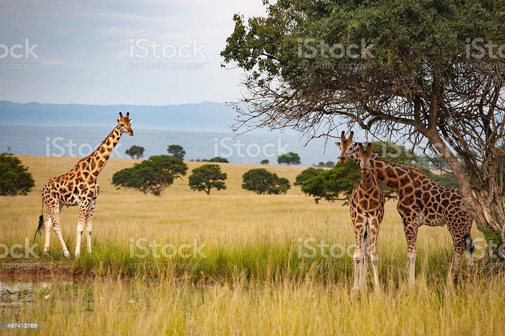 Giraffes at water hole stock photo