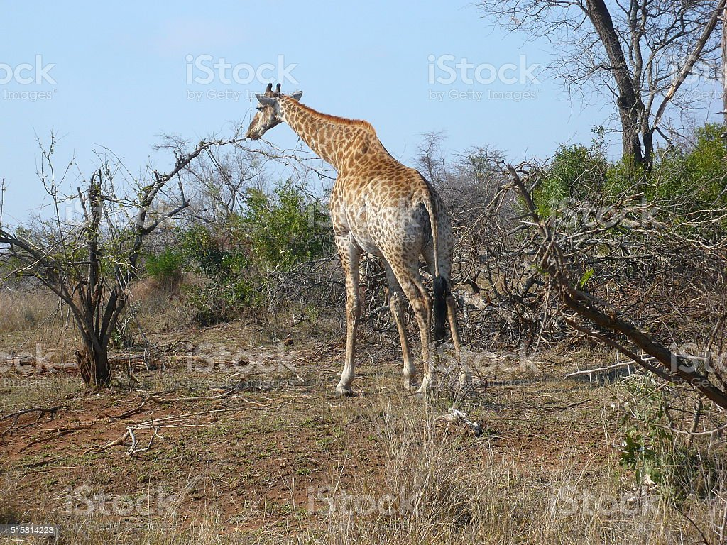 giraffe's back royalty-free stock photo
