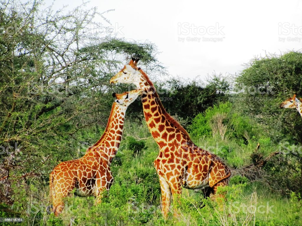 Giraffes child kisses mum in the Masai Mara in Kenya stock photo