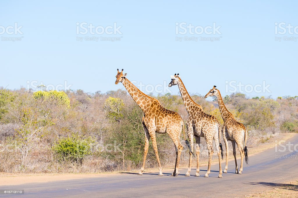 Giraffes crossing the road in the Kruger National Park stock photo