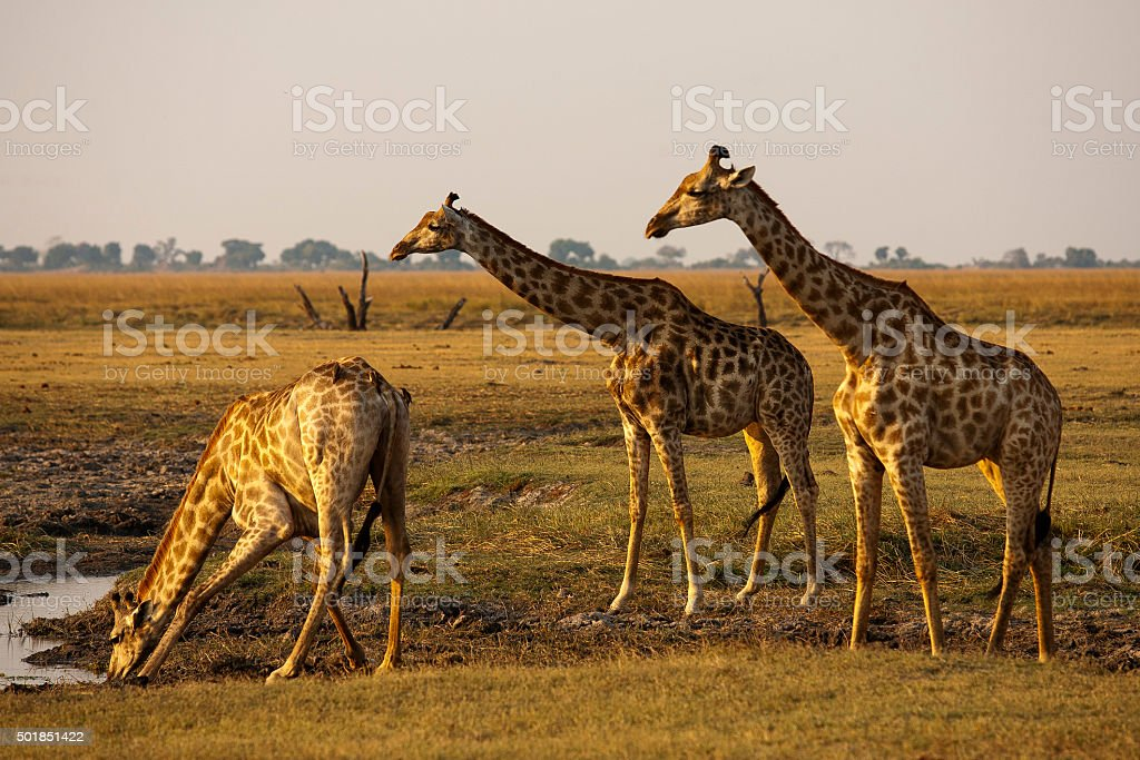 Giraffes drinking at waterhole with Chobe river in the background stock photo