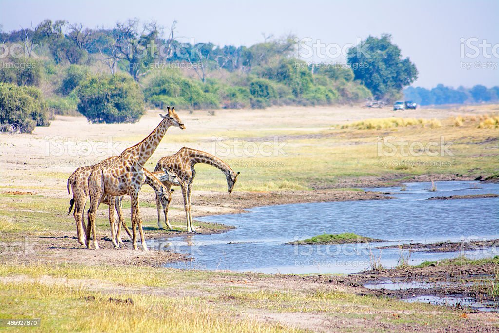 Giraffes Drinking from the River stock photo
