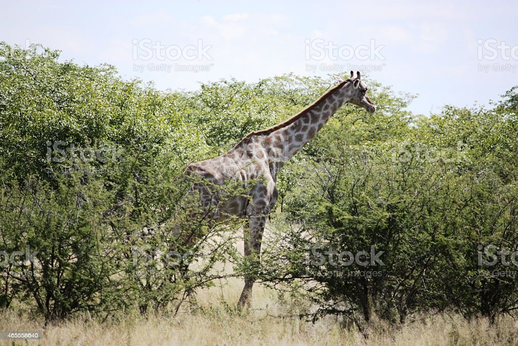 Giraffes eating in Etosha National Park Namibia stock photo