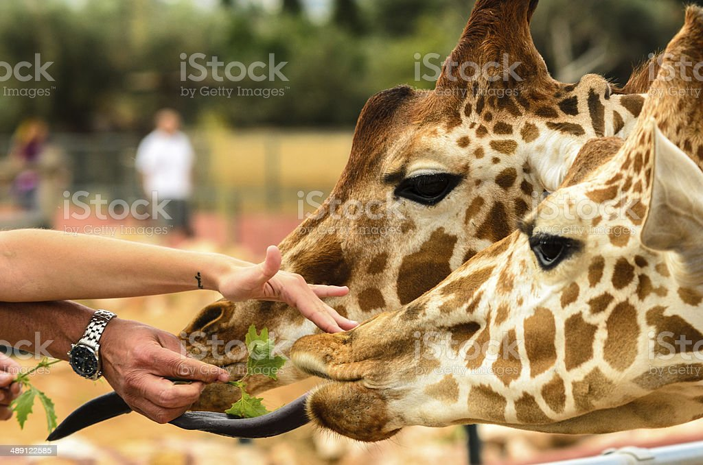 Giraffes feeding by people stock photo