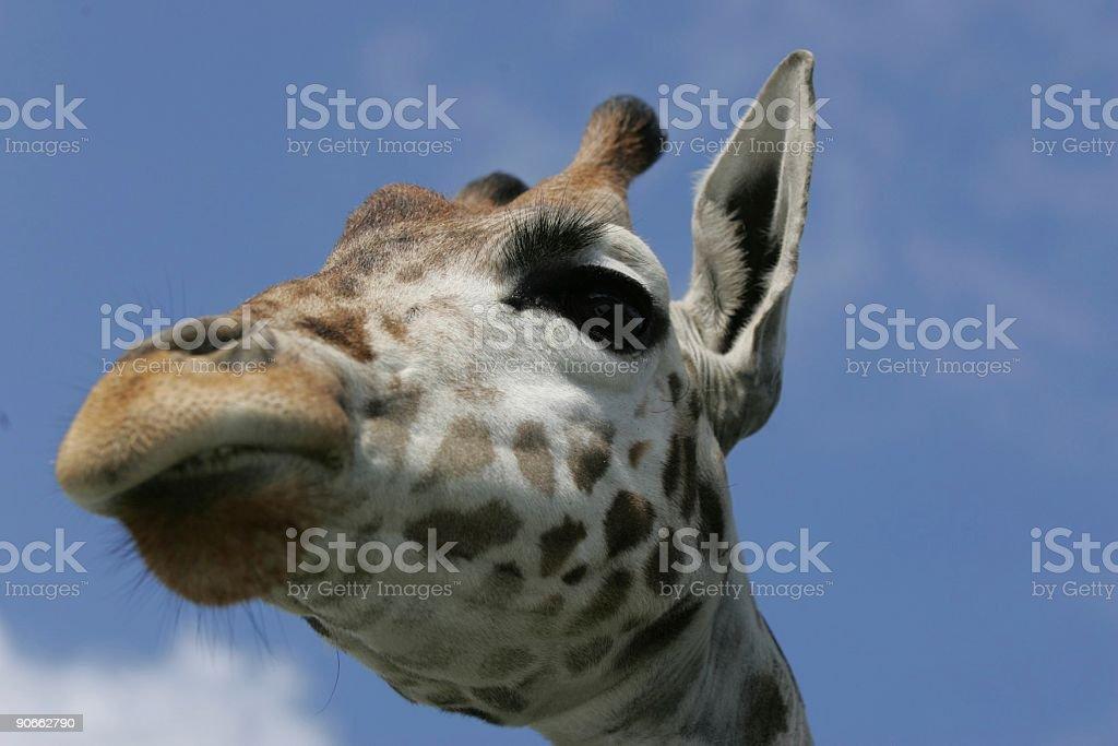 Giraffe's head royalty-free stock photo