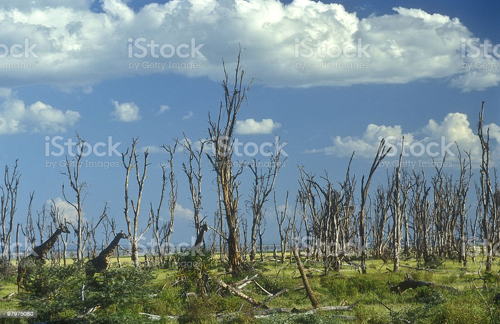 Giraffes in a forest of dead trees royalty-free stock photo