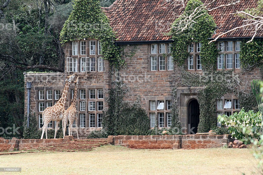 Giraffes in Africa royalty-free stock photo