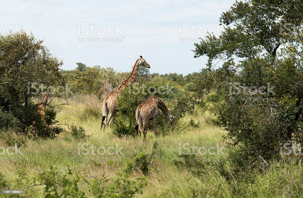 giraffes in krugerpark stock photo