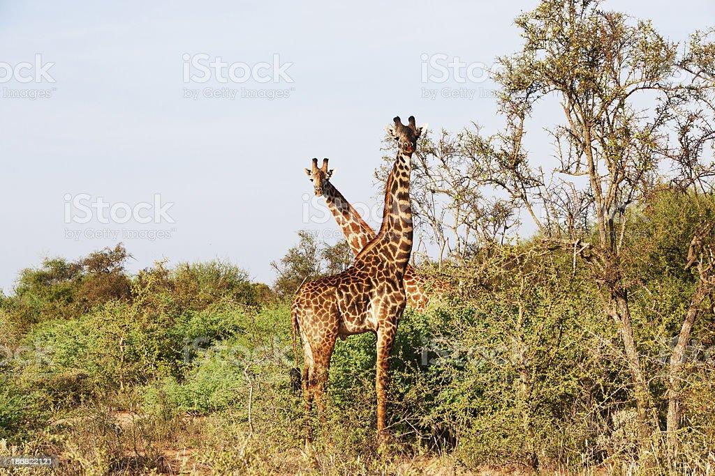 Giraffes in Porini, Amboseli, Kenya. stock photo
