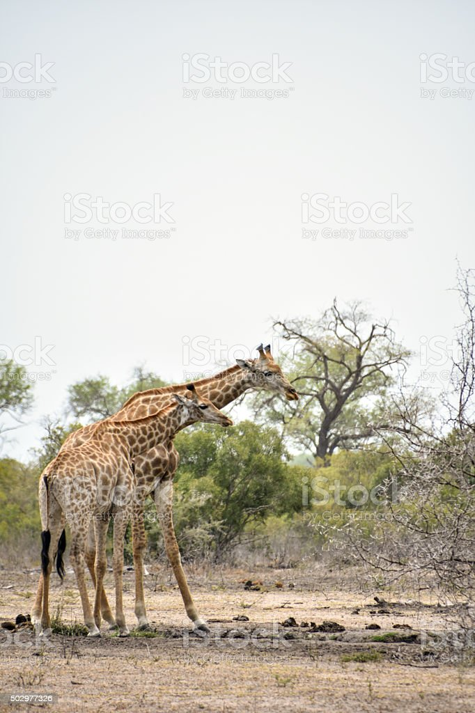 Giraffes in Sabi Sands Game Reserve stock photo