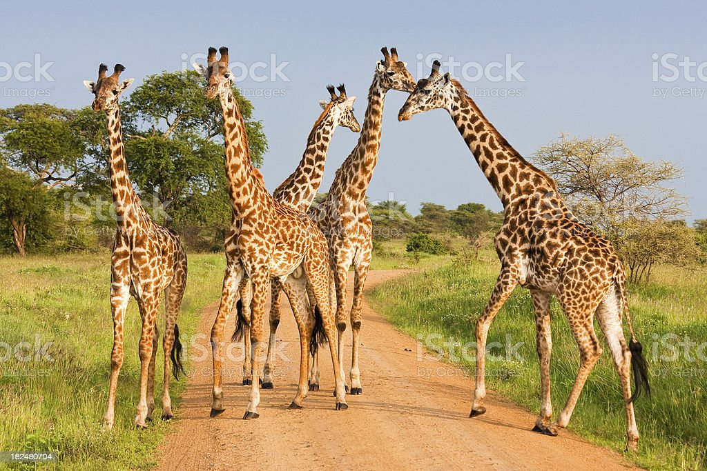 Giraffes in Serengeti stock photo