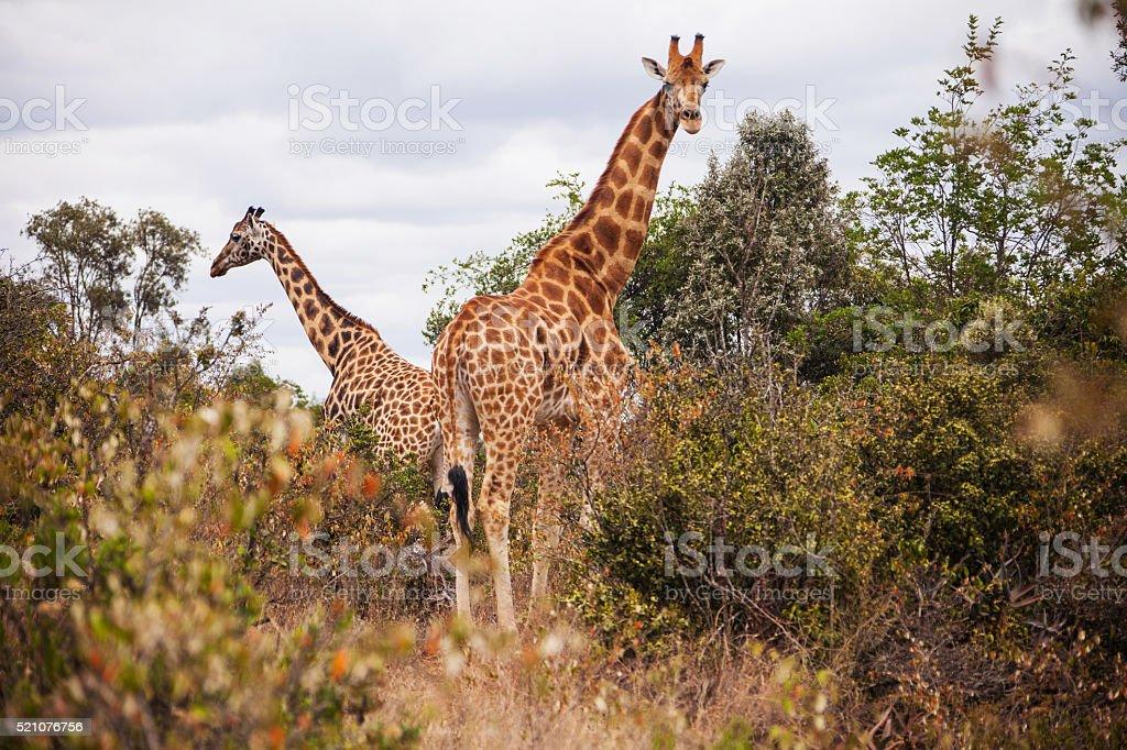 Giraffes in the AFEW Giraffe Centre, Nairobi, Kenya stock photo