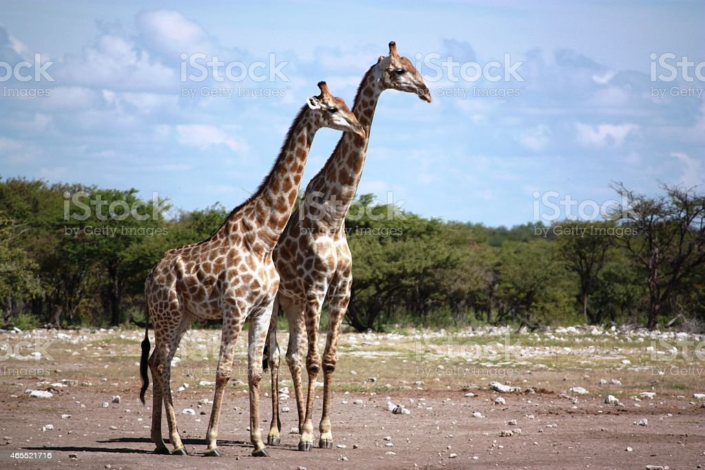 Giraffes in the Etosha Nationalpark  Namibia stock photo
