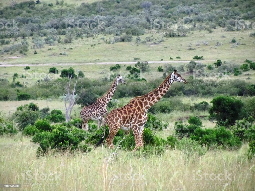 Giraffes in the Masai Mara Kenya stock photo