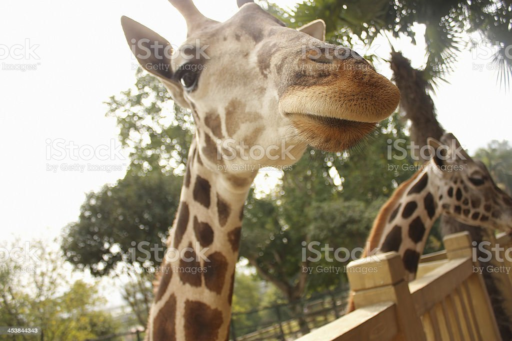 Giraffes in the Zoo royalty-free stock photo