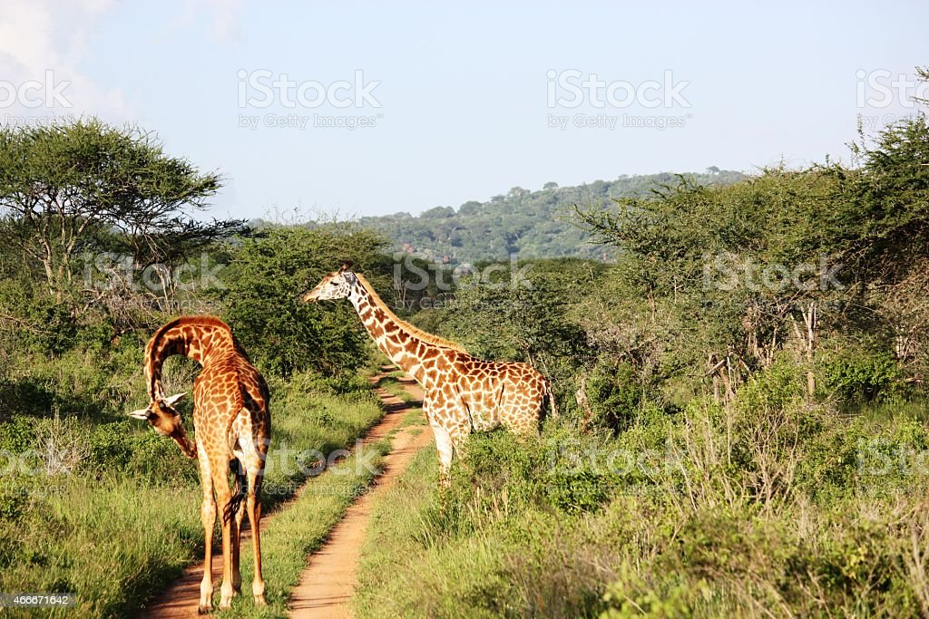 Giraffes, large giraffe herd in Masai Mara Kenya stock photo
