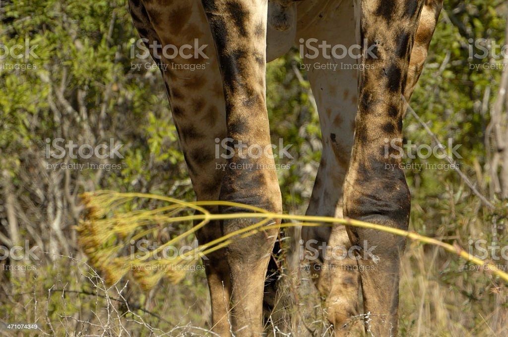 Giraffe's legs royalty-free stock photo
