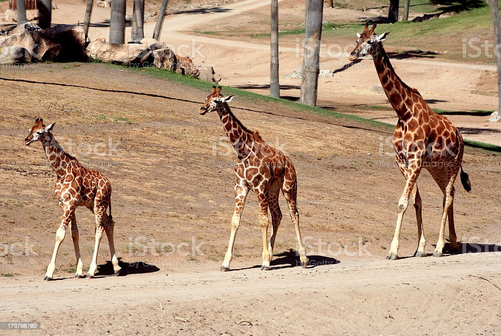 Giraffes of Three Sizes royalty-free stock photo