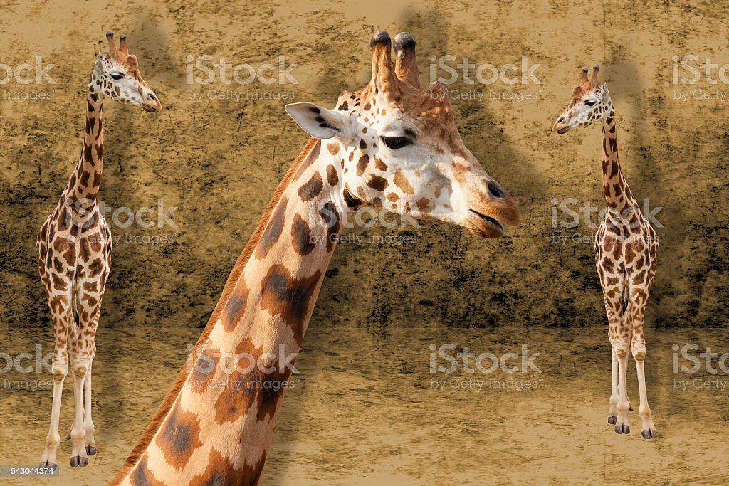 Giraffes on the brown background stock photo