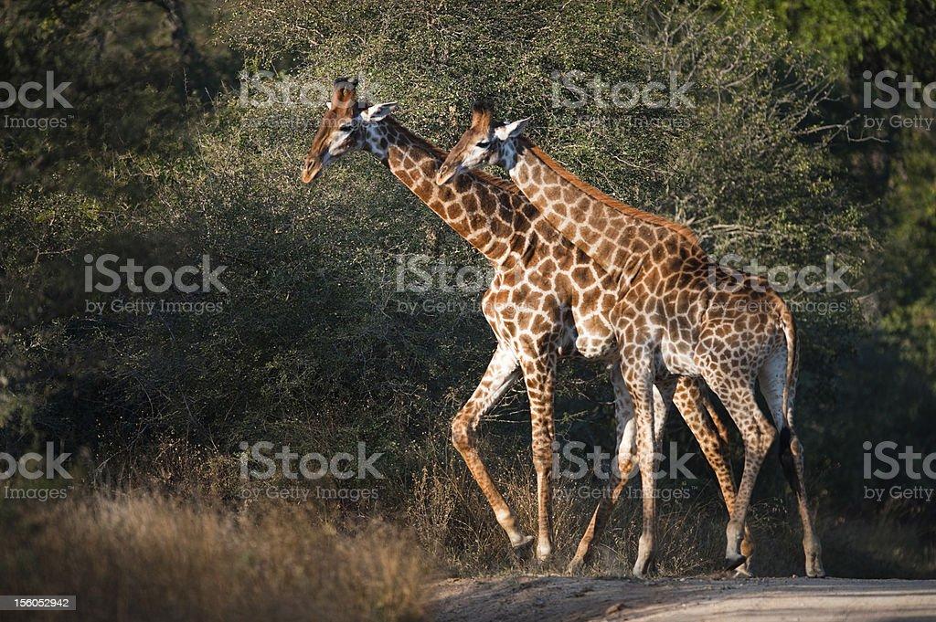 Giraffes royalty-free stock photo