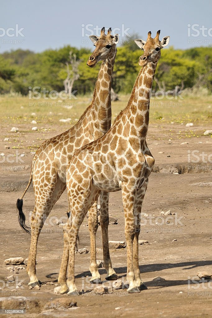 Giraffes watching out stock photo