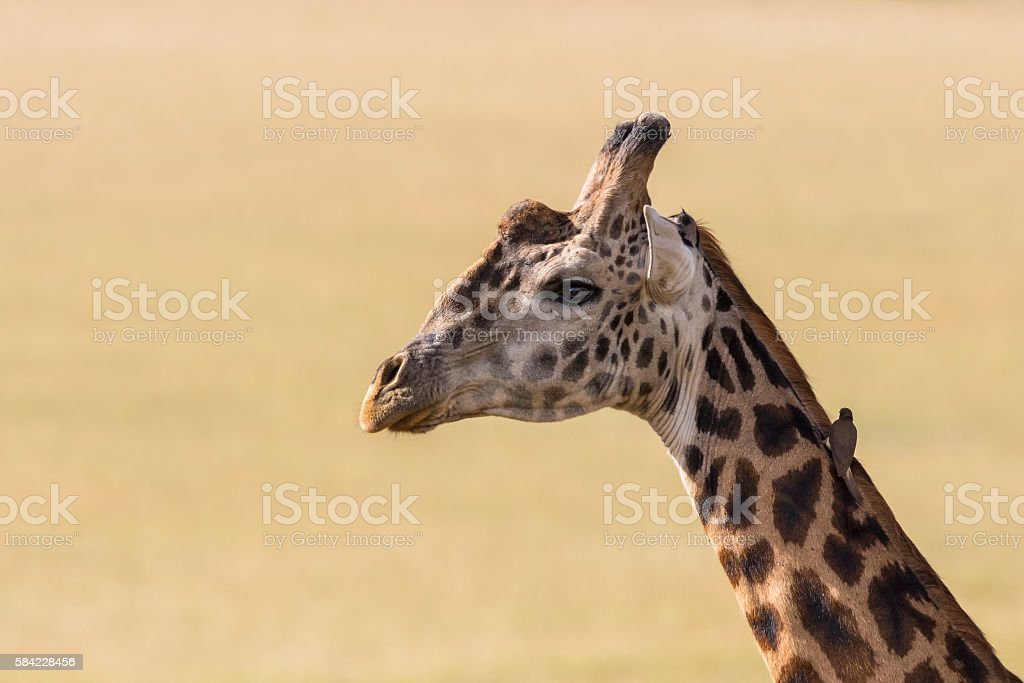 Giraffes with a oxpecker seated on the neck stock photo