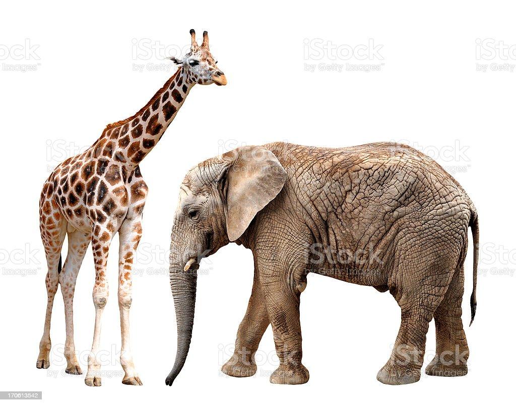 giraffes with elephant royalty-free stock photo