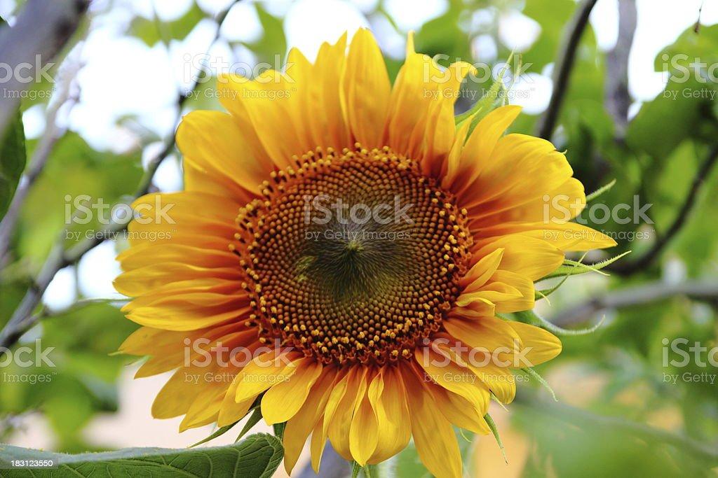 Girasole - Sunflower royalty-free stock photo