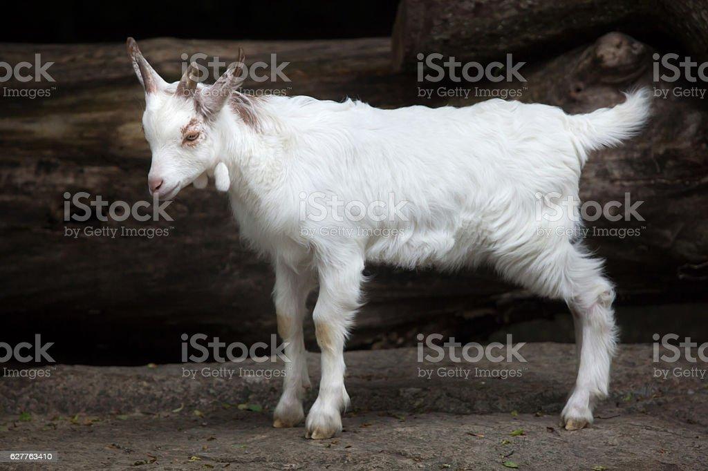 Girgentana goat (Capra aegagrus hircus) stock photo