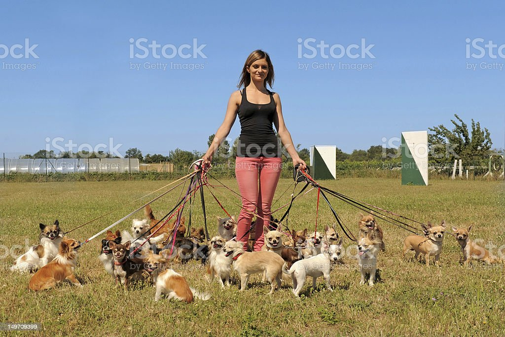 girl and chihuahuas stock photo