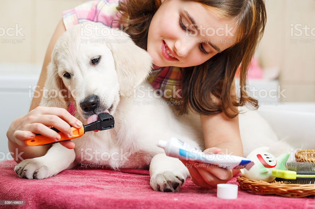 Girl cleaning teeth of her dog at home stock photo