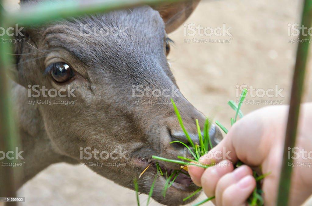 Girl Feeding Caged Fawn stock photo