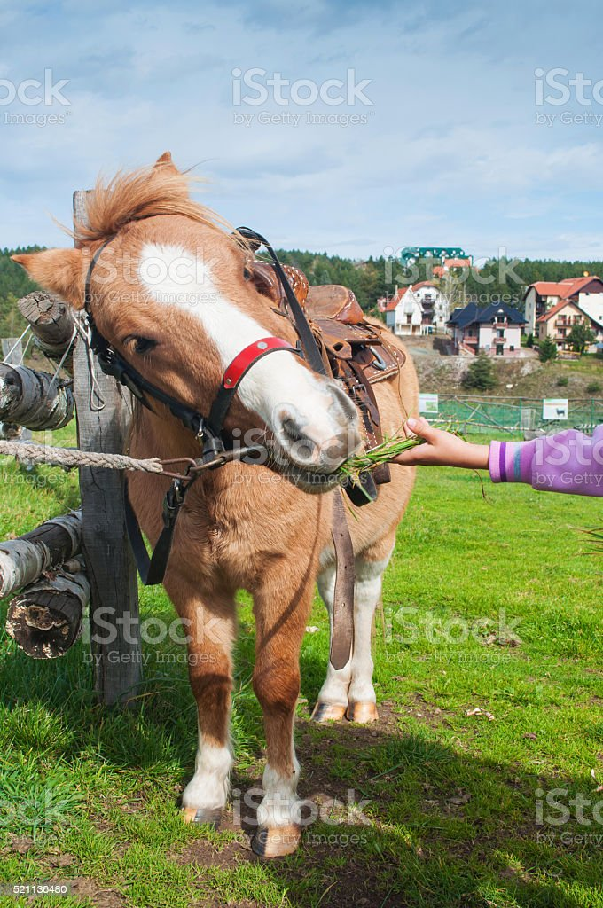 Girl feeding pony stock photo
