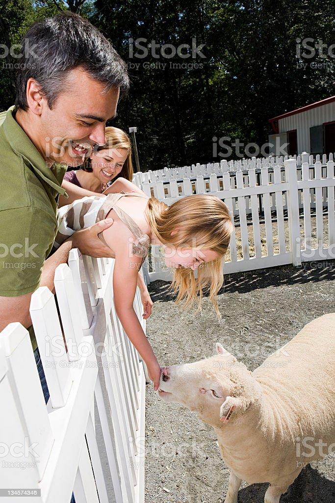 Girl feeding sheep at the zoo stock photo