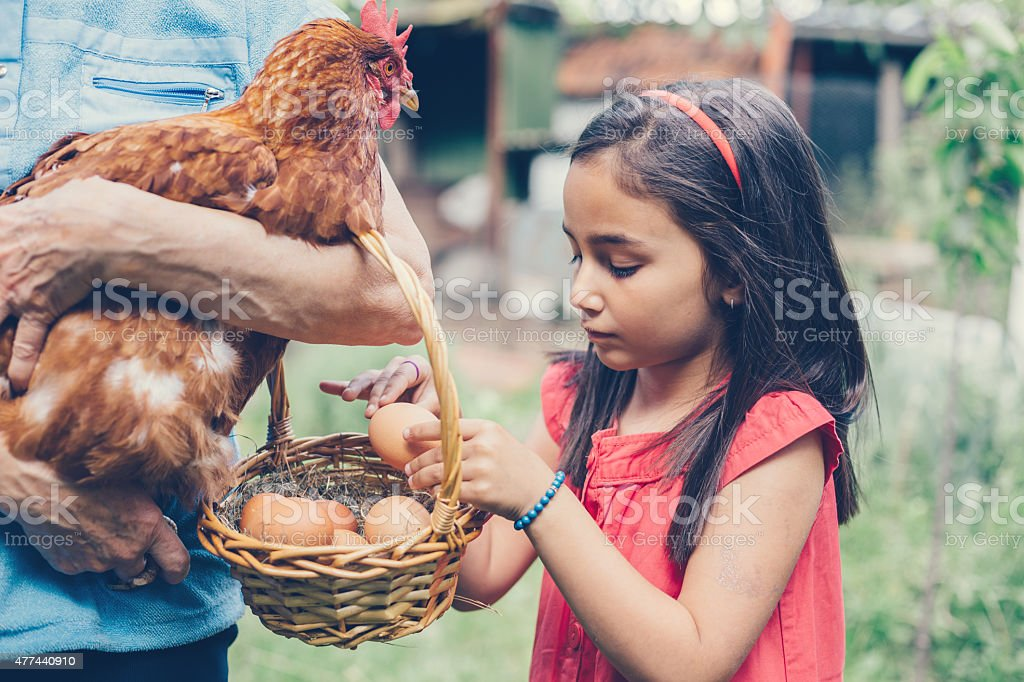 Girl gathering eggs in a basket stock photo