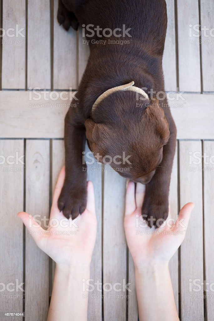 girl holding paws of her sweet brown labrador puppy stock photo