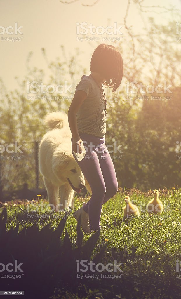 Girl in nature with baby ducks and large white Sharpalninatz stock photo