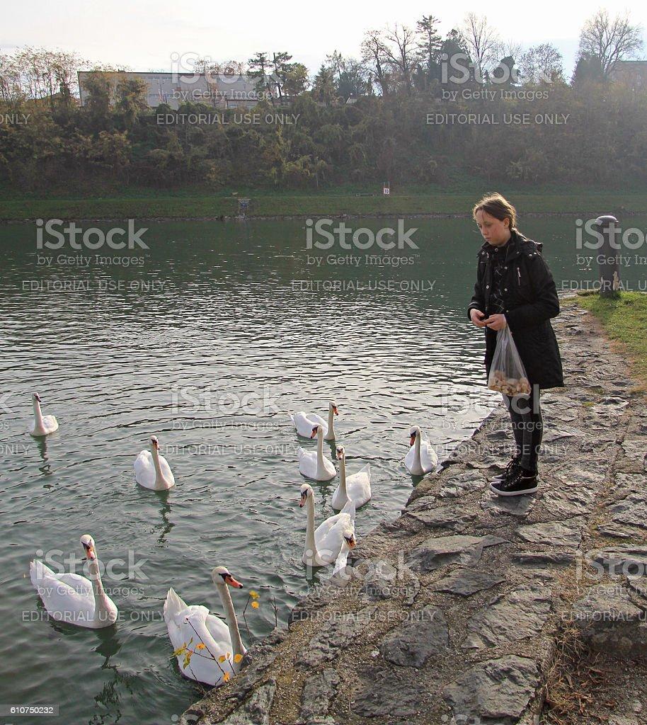 girl is feeding swans, Maribor stock photo