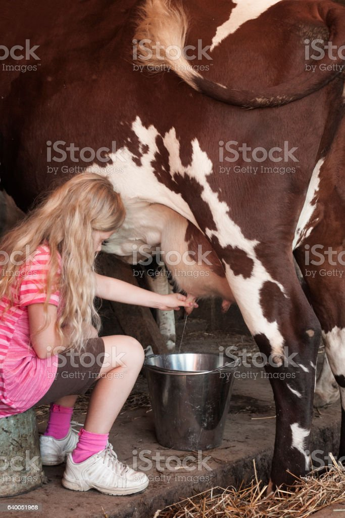 Girl milks a cow stock photo