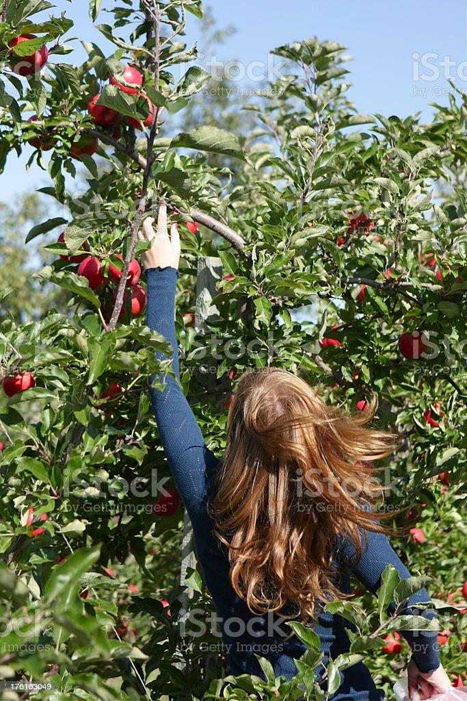 Girl Picking apples royalty-free stock photo