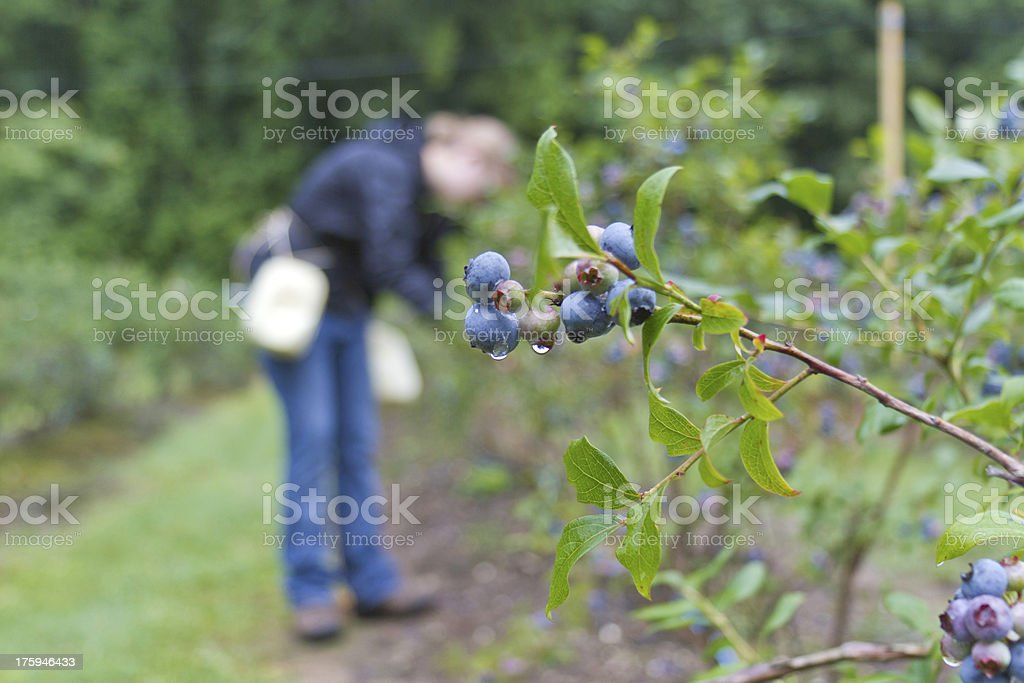 Girl Picking Dew Drenched Blueberries royalty-free stock photo
