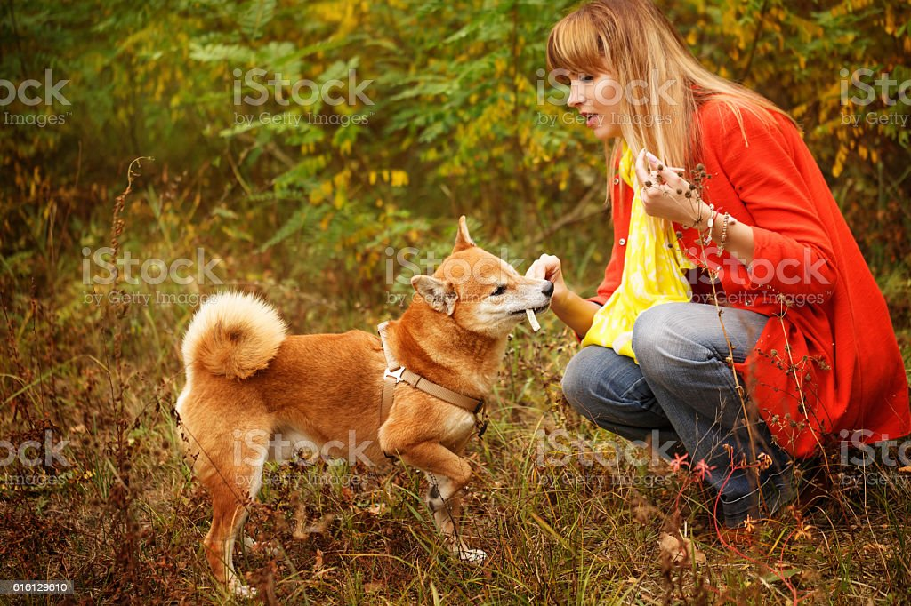 Girl playing with a dog Shiba Inu in autumn park. stock photo