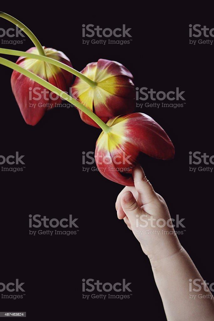 Girl touching tulips stock photo