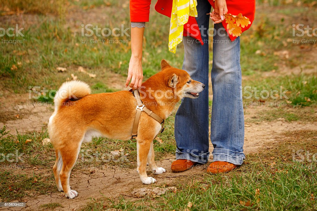 Girl walking with a dog Shiba Inu in autumn park. stock photo