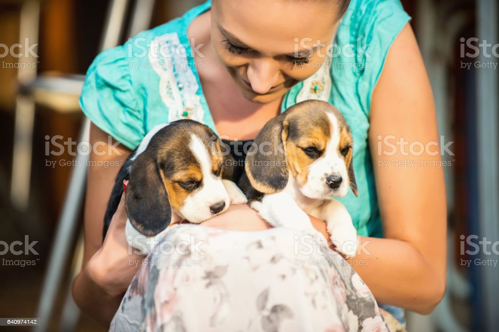 Girl with beagle puppies stock photo
