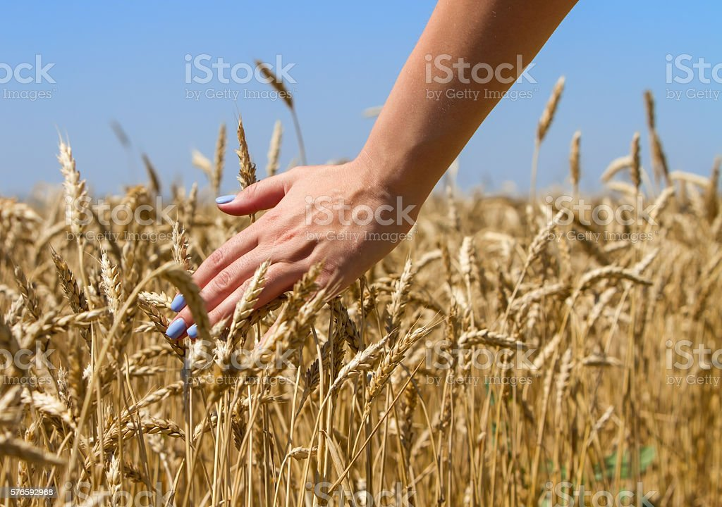 girl's hand touching wheat. stock photo